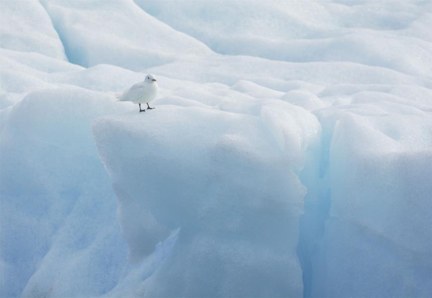 JW/JA0JHQ Ivory Gull, Svalbard.