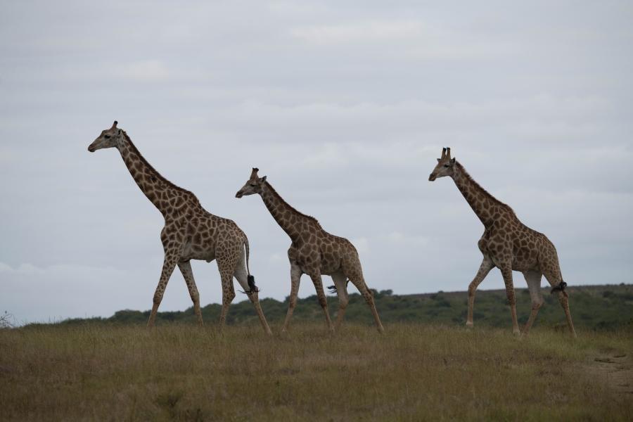 ZR2A Giraffes, Shamwari Game Reserve, Port Elizabeth, South Africa.