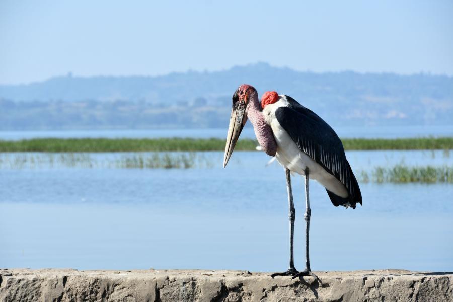 ET3YOTA Marabou stork, Lake Awasa, Ethiopia