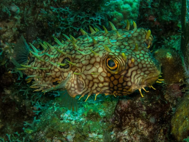 PJ5/N6YEU Web Burrfish, Sint Eustatius Island