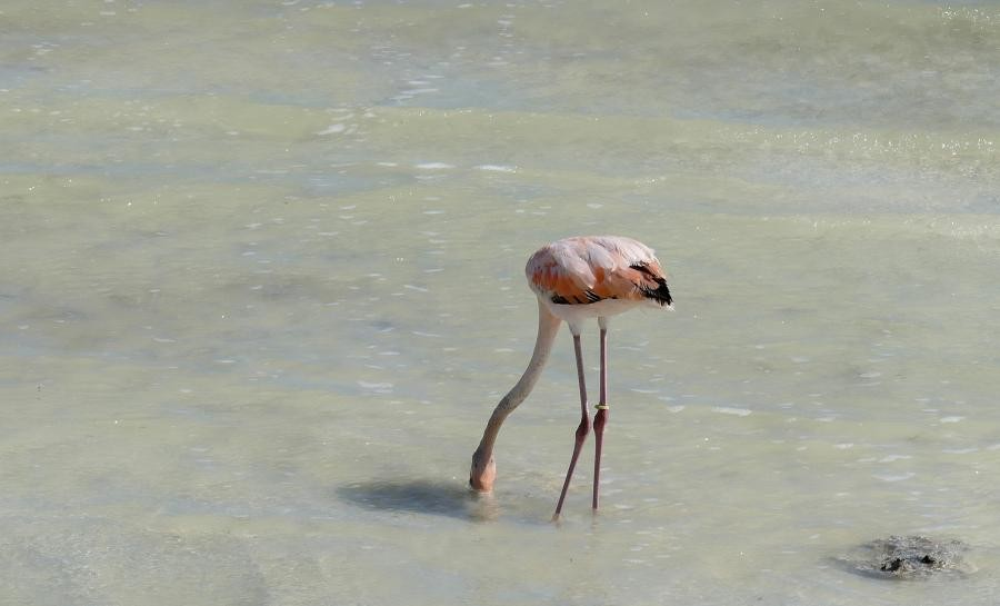 PJ4U Flamingo, Bonaire Island