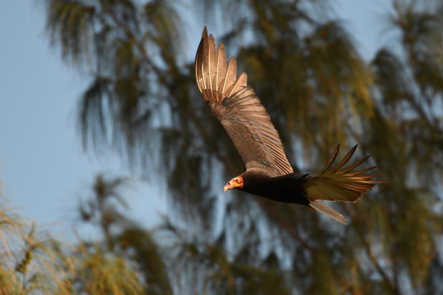 V31HE Lesser Yellow-headed Vulture, Sabal Beach, Belize.