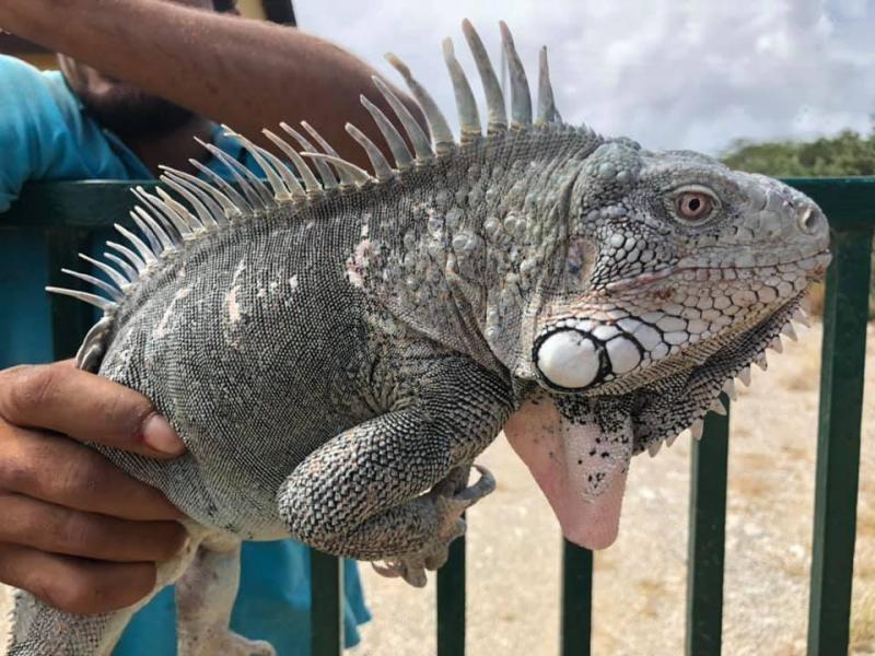 PJ4G Bonaire Island Iguana Image 3