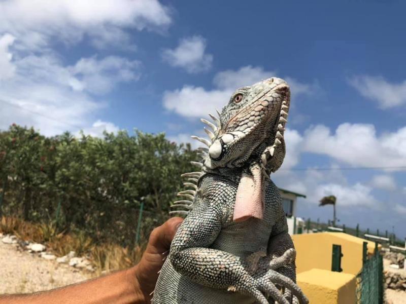 PJ4G Bonaire Island Iguana Image 4