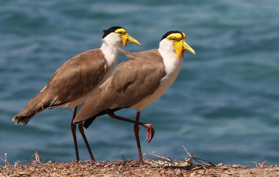 VK4/JA8COE Masked Lapwing, Thursday Island, Australia.