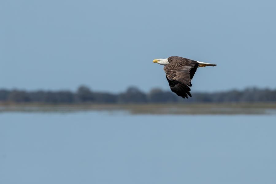 YV1MAV/W4 Bald Eagle, Kissimmee, Florida, USA
