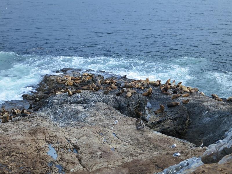 K7TRI Tillamook Rock Part of the large California sea lion colony.