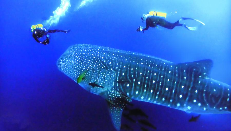 FO/K5PI Whale Shark, French Polynesia