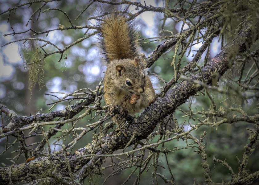 KL7/K6ZH Red Squirrel, Katmai National Park, Alaska