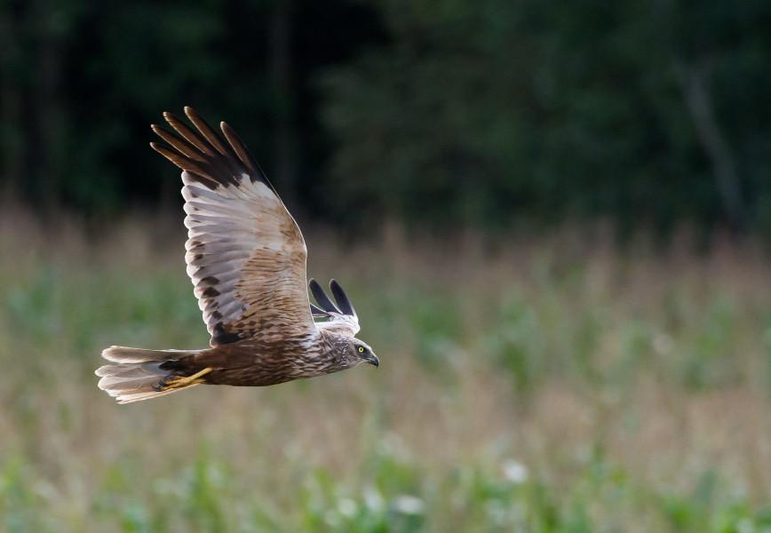 EW/KU1CW Marsh Harrier, Belarus