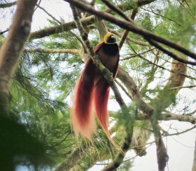 P29NC P29VK Raggiana Bird of Paradise, Variata National Park, Nr Port Moresby. Papua New Guinea.