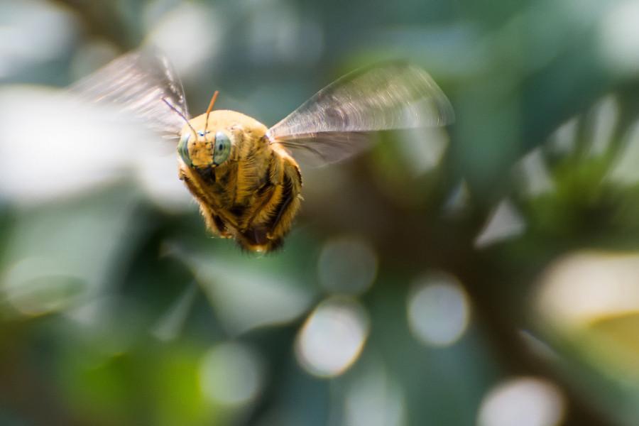Bumblebee, Singapore
