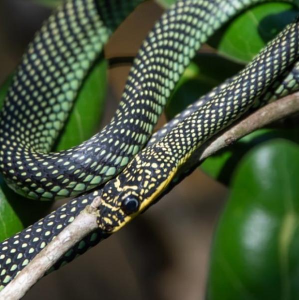 Paradise Tree Snake, Singapore