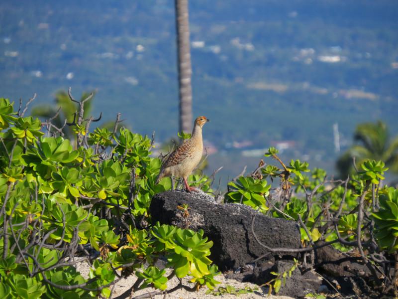 NH6M Chachalaca, Kailua Kona, Big Island, Hawaii