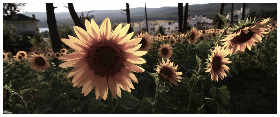 TC1KESAN Sun Flowers, Kesan, Edirne, Turkey