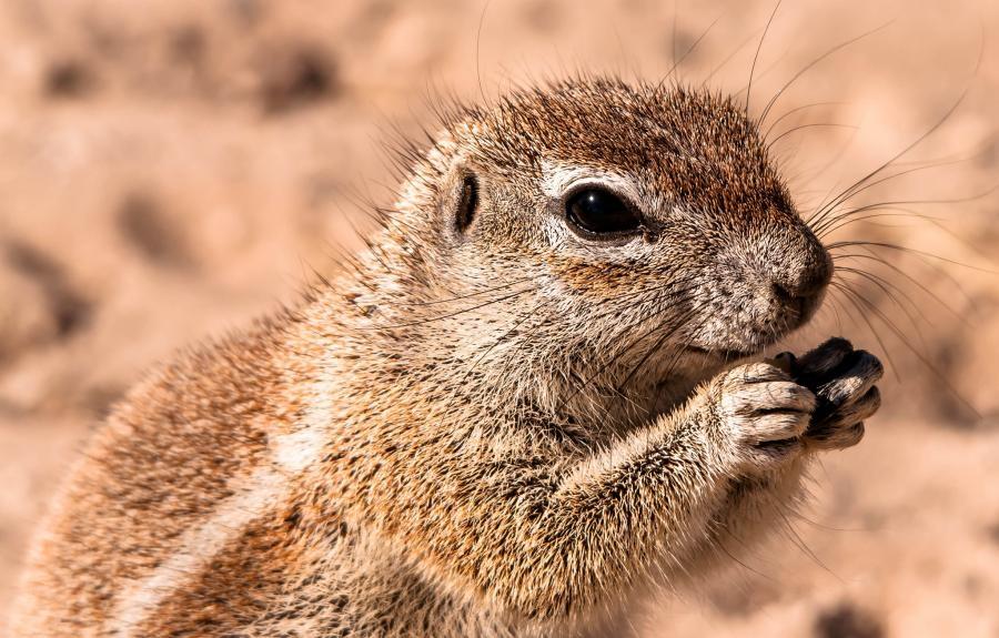 A25BE Ground Squirrel in the Kalahari, Botswana.