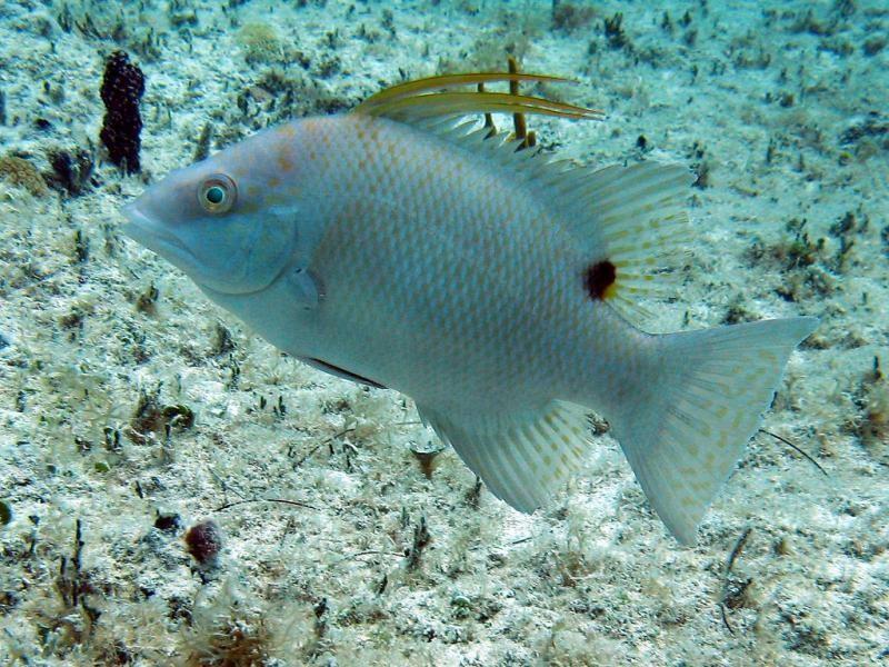 PJ7/UT6UD Hogfish, Sint Maarten.