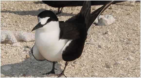 KH1/KH7Z Baker Island Sooty Tern