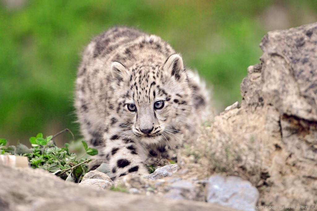 Afghanistan T6TM DX News Snow Leopard