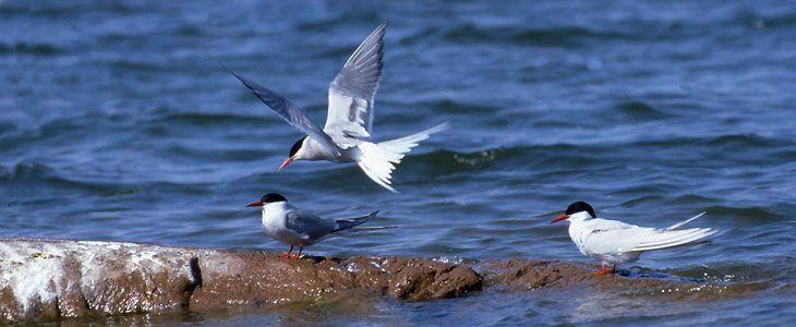 Аландские острова OG0W Птицы