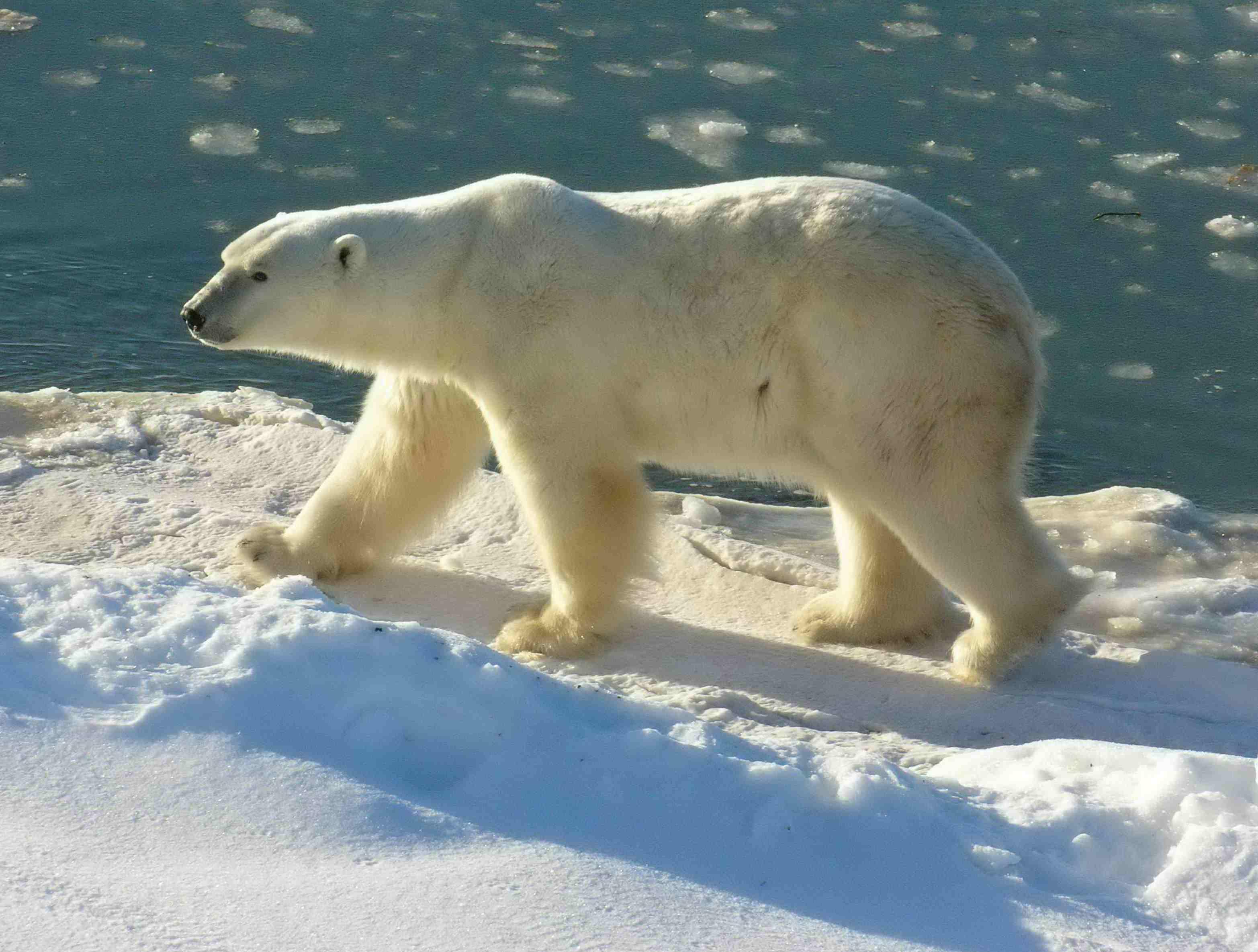 Белый Медведь Остров Аммассалик Гренландия DX Новости