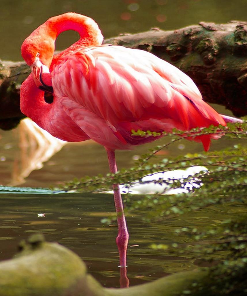 Аруба P40F Спящий Фламинго