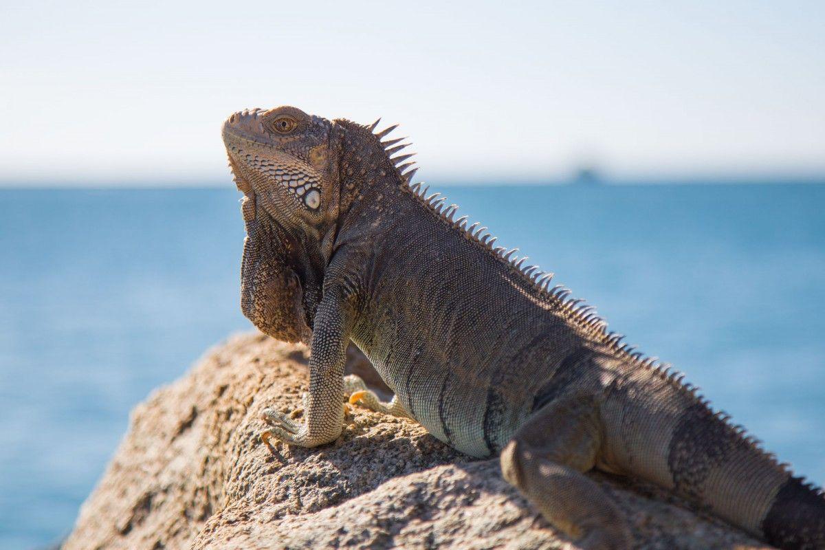 Aruba P40F Iguana Ocean