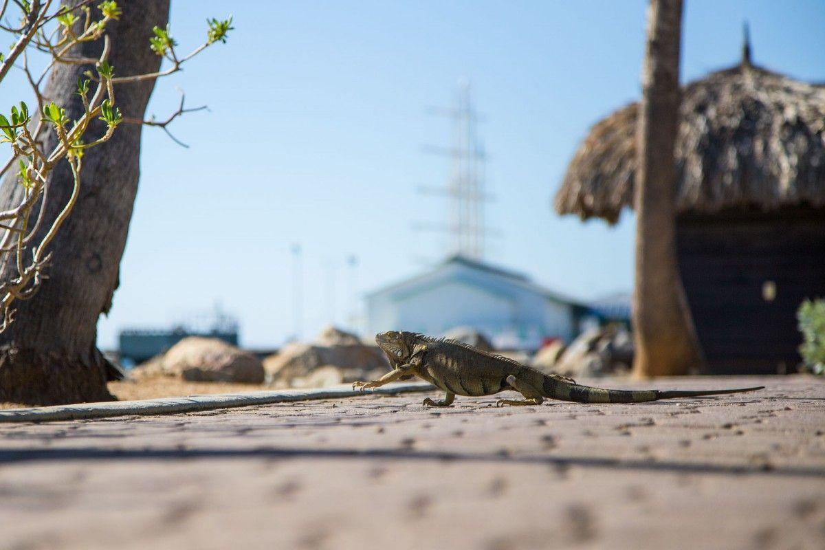 Aruba P40F Iguana