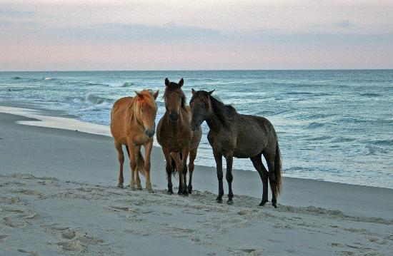 Assateague Island N2US/3 Wild Horses