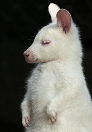 Australia VK4KW Wallaby