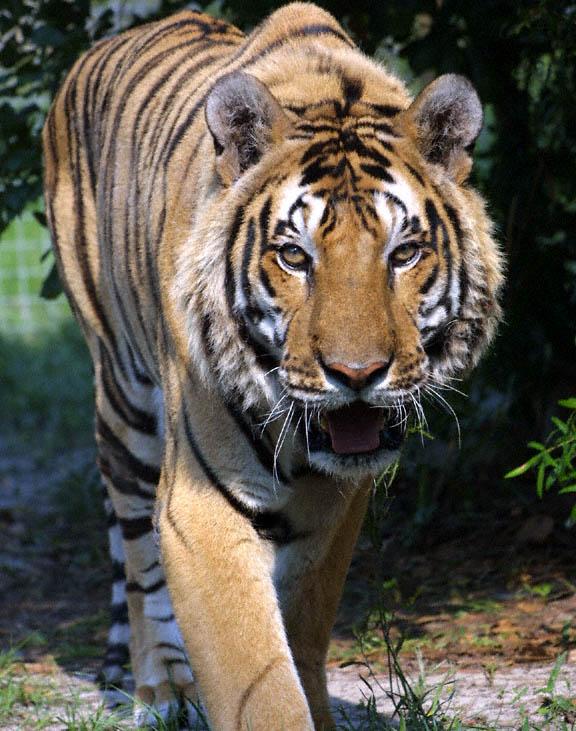 Бангладеш S21YX S21YZ Королевский Бенгальский Тигр DX Новости