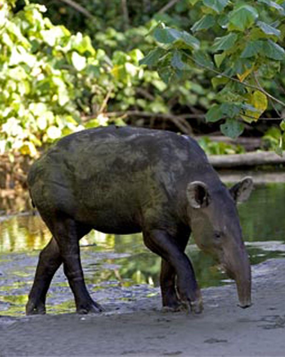 Belize DX News V31MM V31PM V31GB Tapir National Animal of Belize