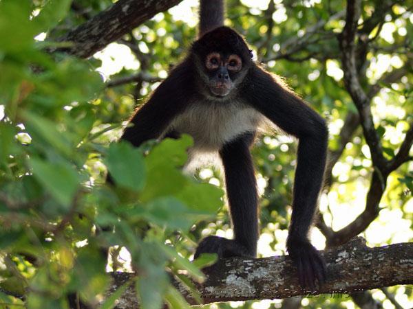 Belize V31DI Howler Monkey