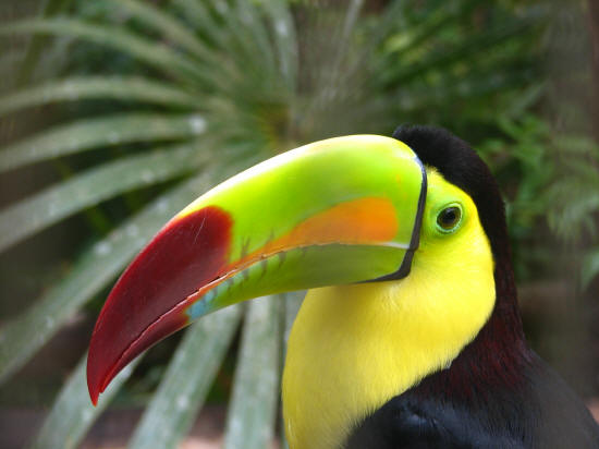 Belize V31MM V31PM V31GB Toucan National Bird of Belize