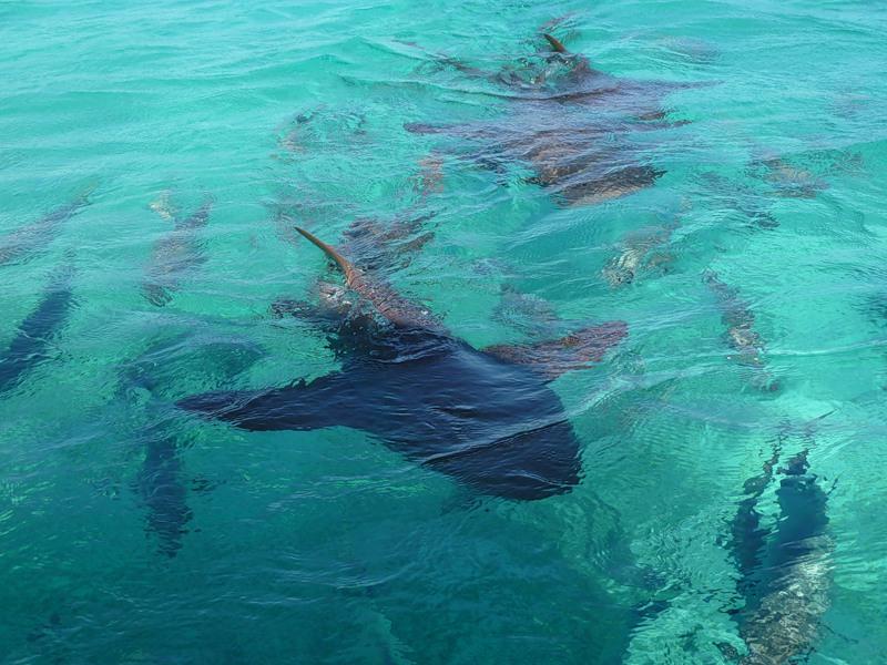 Belize V31TS V31MH Sharks