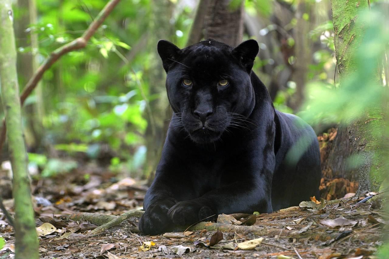 Belize V31YN V31GW Jaguar