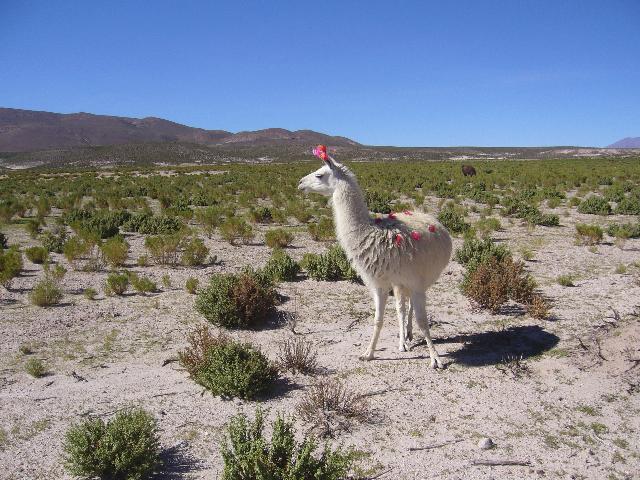 Bolivia Llama CP4DR CP4DL