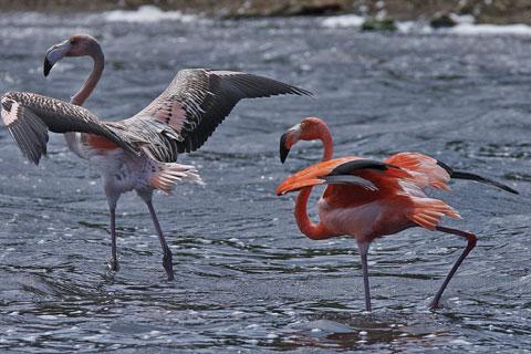 Bonaire Island PJ4B Flamingo