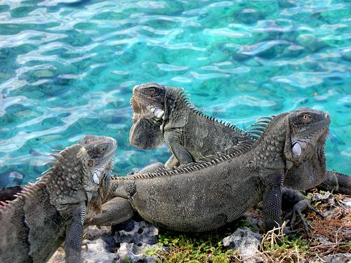 Bonaire Island PJ4B Iguanas