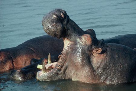 Burundi Hippopotamus