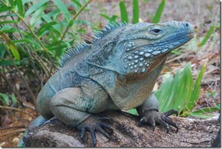 Cayman Islands DX News ZF2LC Blue Iguana