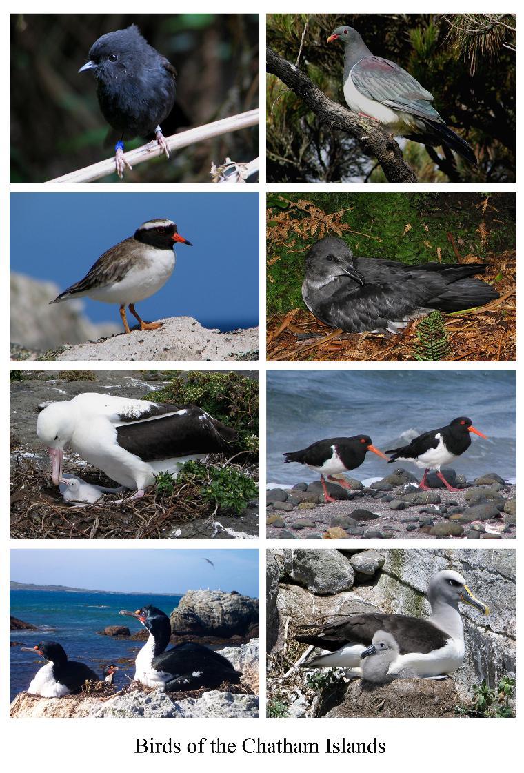 Chatham Islands Birds ZL1WY/ZL7