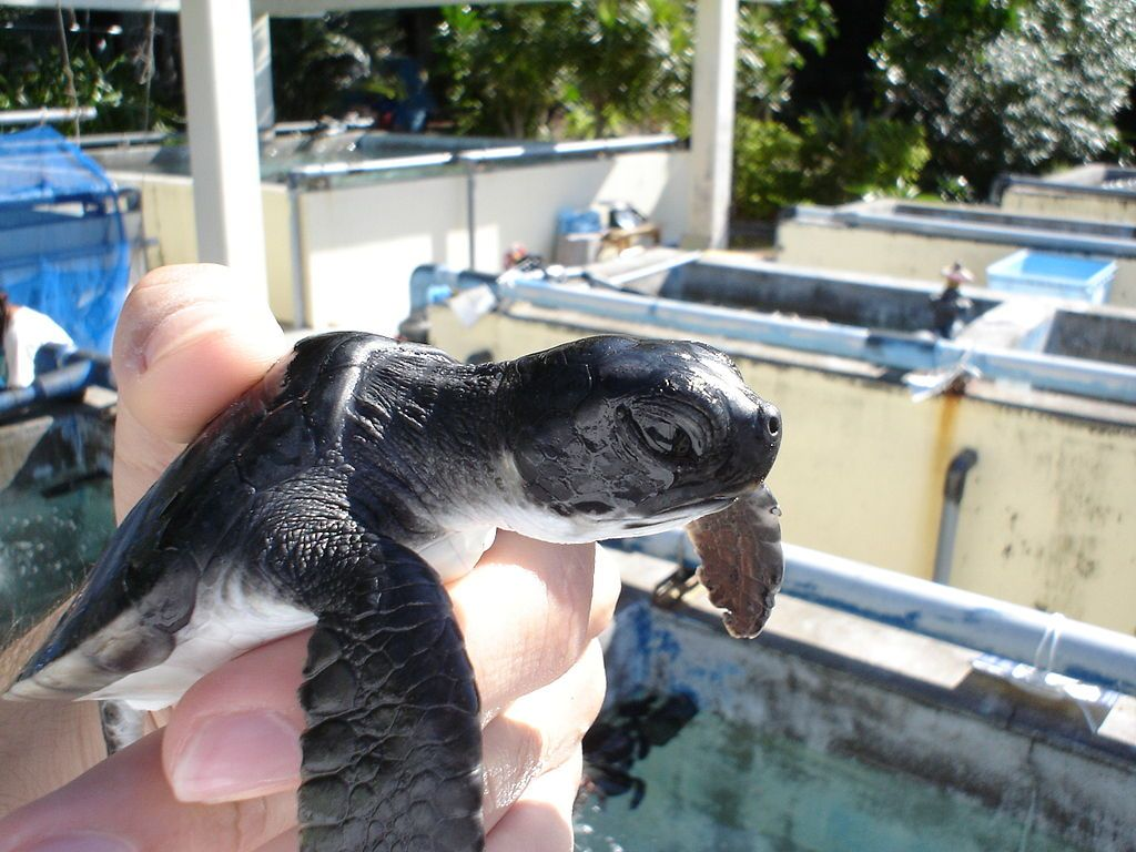 Chichi Jima Island Ogasawara Islands Bonin Islands JD1BMH Turtle farm