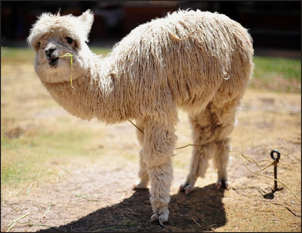 Chile 3G3TV Alpaca Llama