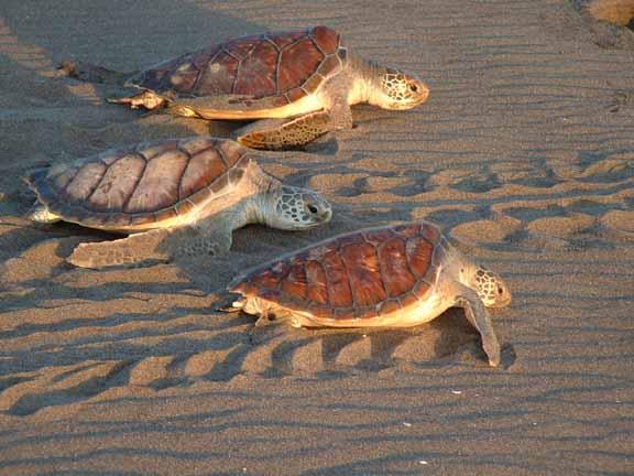 Коста Рика Морские Черепахи DX Новости