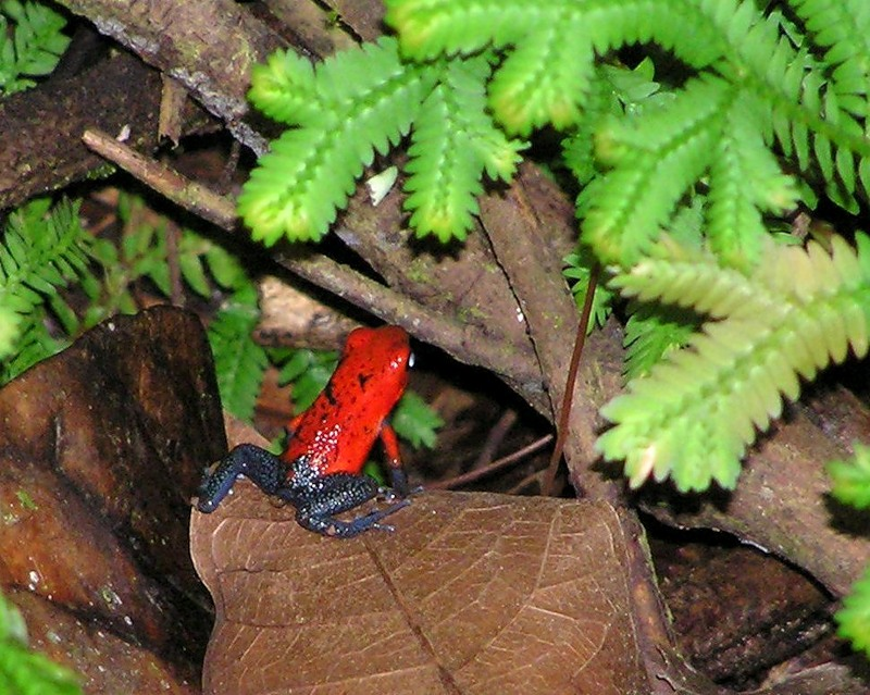 Costa Rica TI5A Poisonous Frog Blue Jeans