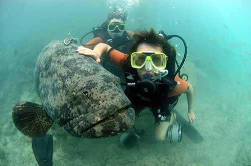 Curacao Island Giant Grouper