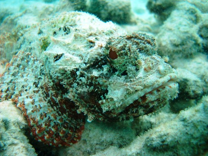 Curacao Island Scorpion Fish