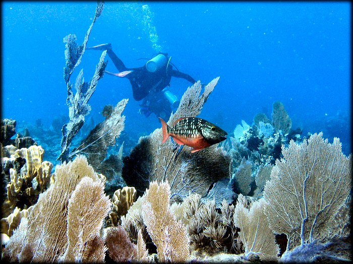 Curacao Island Parrot Fish PJ2/OH1VR