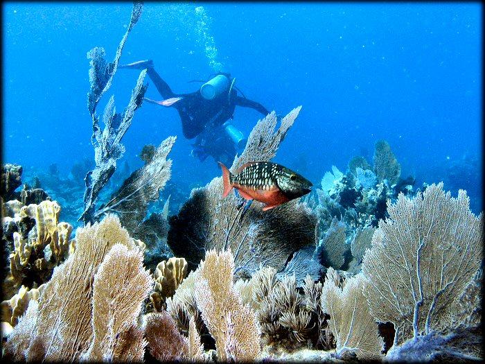 Рыба Попугай Остров Кюрасао